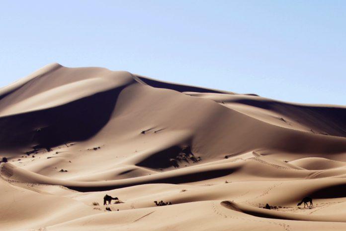 Camellos en Erg Chebbi (Sahara de Marruecos)