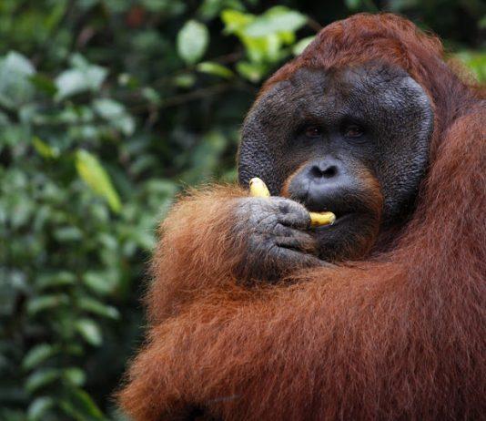Orangután macho