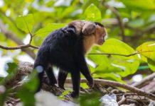 Monos cariblanca en el Parque Nacional de Manuel Antonio