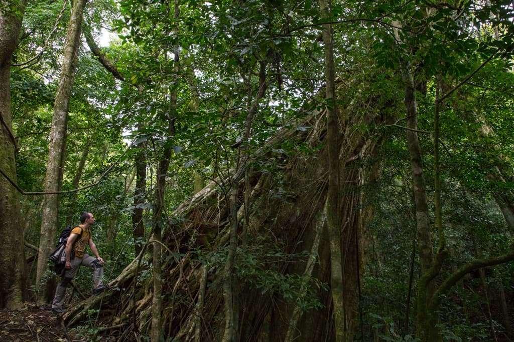 Ficus centenario en Monteverde (Costa Rica). El turismo activo y ecológico ha promovido medidas de conservación de la naturaleza del país.