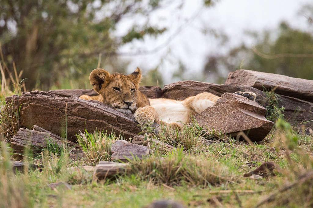 Cría de león descansando en el Masai Mara (Kenia)