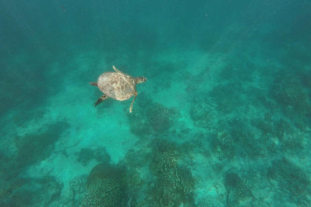 Tortuga marina en Gili Trawangan (Indonesia)