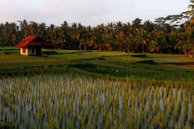 Campos de arroz cerca de Ubud (Bali, Indonesia)