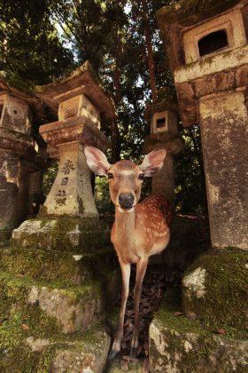 Ciervo en el santuario Kasuga-taisha (Nara, Japón)