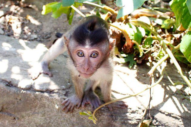 Cría de macaco en el Monkey Foret de Ubud (Bali, Indonesia)