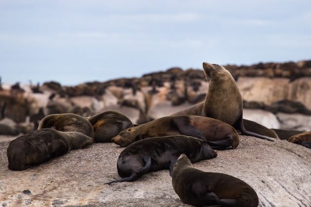Leones marinos en Duiker Island (Sudáfrica)