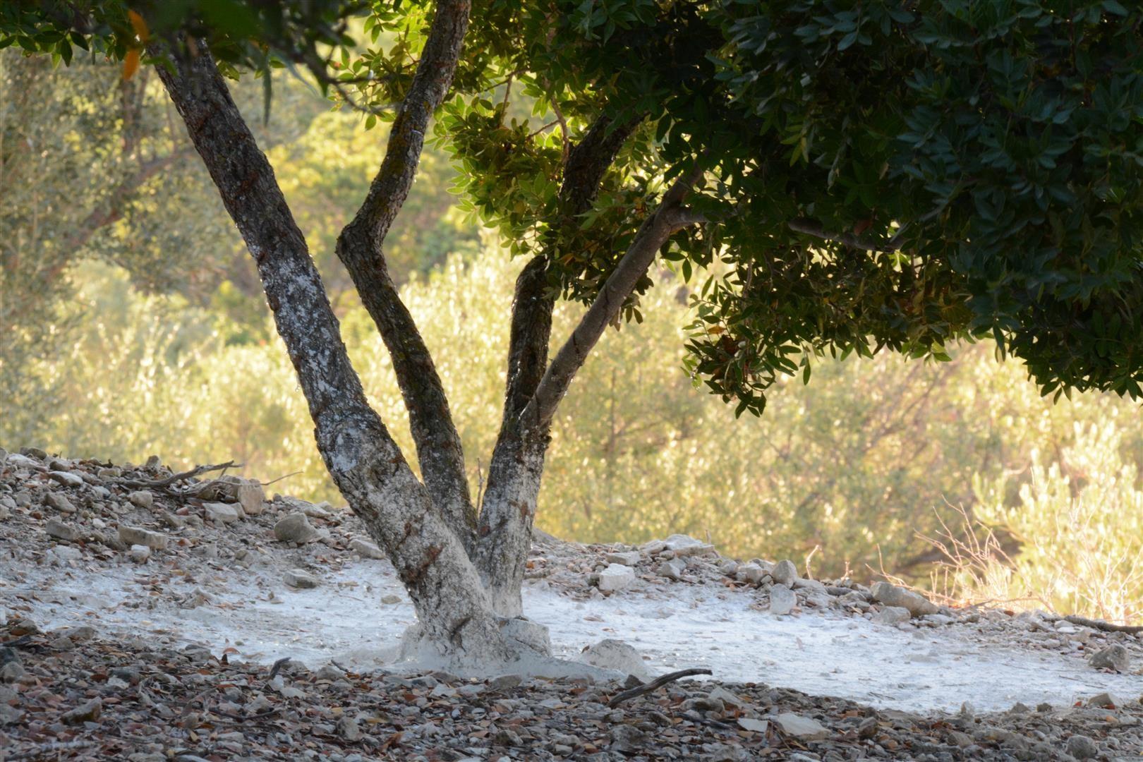 Lentisco con el suelo con arcilla blanca donde se recogen las lágrimas secas de Mastic en verano