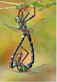 Oxygastra Curtisii, una de las especies estudiadas en el libro Libélulas en el Sistema Central | Universidad Católica de Ávila